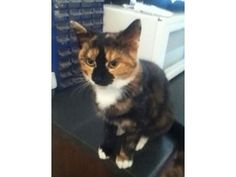 tortie female kitten 8 mnth,s old £10 for sale in Sefton. Used second hand Cats for sale in Sefton. tortie female kitten 8 mnth,s old £10 available on car boot sale in Sefton. Free ads on CarBootSaleMerseyside online car boot sale in Sefton - 2307