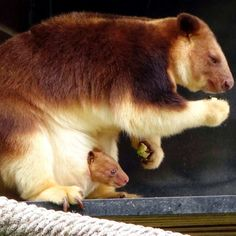 VIDEO: Rare Goodfellow's tree kangaroo joey makes appearance at Canberra's National Zoo and Aquarium