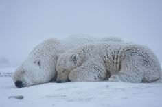 Photos: Black Bears, Grizzly Bears, and Polar Bears of Alaska   Vanity Fair