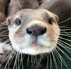Otter close up Otters Cute, Baby Otters, Baby Sloth, Cute Funny Animals, Cute Baby Animals, Nature Animals, Animals And Pets, Animal Noses, Otter Love