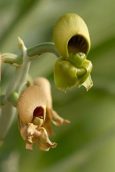Catasetum orchids                                                                                                                                                                                 Más