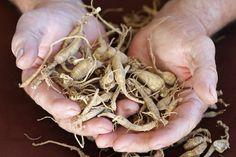 Growing Ginseng: Start a Ginseng Farm - Organic Gardening - MOTHER EARTH NEWS