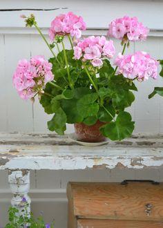 Pale Pink Geranium x Pink Garden, Love Garden, Garden Pots, Pretty In Pink, Pink Flowers, Beautiful Flowers, Ivy Plant Indoor, Pink Geranium, Red Geraniums