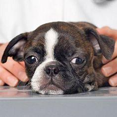 Heartworm Symptoms in Dogs