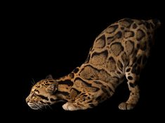 See photos of big cats, wolves, and more from photographer Joel Sartore's Photo Ark project.