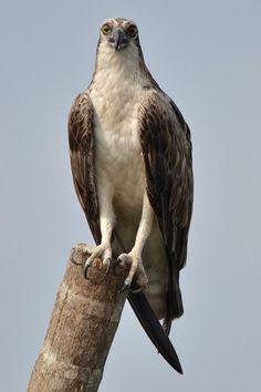 Osprey - Bird of Prey