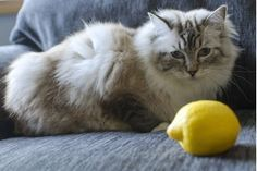 How to Use Lemon to Kill Fleas on Newborn Kittens & Cats | eHow