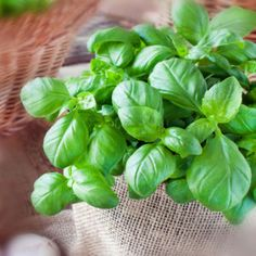 Basil: Culture and Seasonal Care Tips - Garden Tips For Beginners Container Plants, Container Gardening, Gardening Tips, Mary Berry, Garden Snakes, Comment Planter, Organic Fruits And Vegetables, Plantation, Green Life