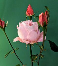 Die letzten Rosen im Garten...