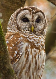 So many places to go, photos to make that I'm way behind with posting and commenting.  So, back to Flickr with a a Barred Owl from a trip last month to Frances Beidler Forest in South Carolina.