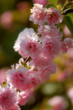 Kwanzan Cherry Blossoms - this is the tree planted on the church grounds in memory of Sweet Lauren.  Couldn't be more perfect.