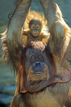 Orangutan Mother giving her young one a piggy-back ride.
