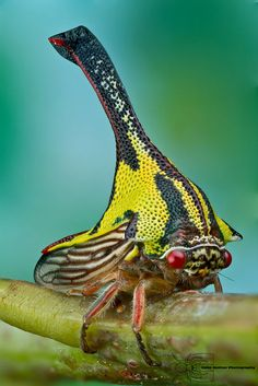 Umbonia Spinosa - thorn bugs are related to cicadas, and use their beaks to pierce plant stems to feed upon their sap. Their strange appearance still poses many questions to scientists