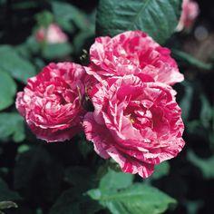 FERDINAND PICHARD Old Rose