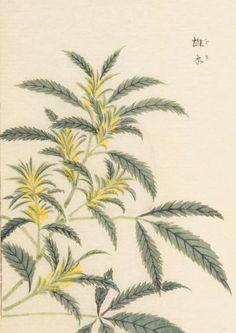 hemp, male plant, 本草図譜 岩崎 灌園, Honzo-Zufu, KanEn Iwasaki (1830)