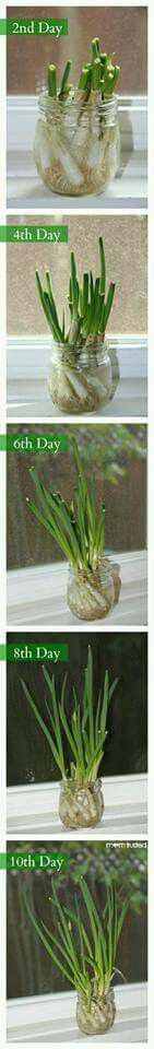 Grow green onions in only 10 days! Great gardening project for kids. I'll never buy green onions again! Green Onions Growing, Growing Veggies, Growing Plants, Herb Garden, Indoor Garden, Vegetable Garden, Outdoor Gardens, Container Gardening, Gardening Tips