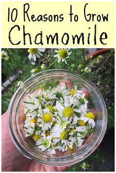 Chamomile is an awesome herb with many benefits for your health and for the garden. Learn all about the different uses of chamomile flowers and tea with these ten reasons to grow chamomile.