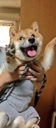 Happy Shiba