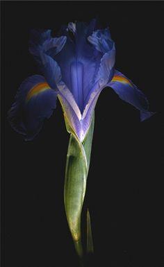 #imagesbyjulie #art #fineart #photography #design #juliepowell #macro #botanical #flower #floral #flora #photographer #unaltered #interiordesign #trending #iris