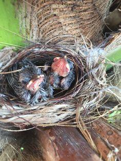 Bulbul Bird Wicker Baskets, Bird, Yellow, Animals, Decor, Animales, Decoration, Animaux, Birds