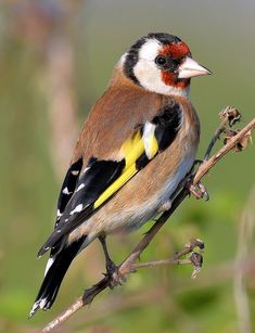 Goldfinch, Bird Drawings, Patterns In Nature, World Best Photos, Pose, Bird Art, Art Projects, Finches, Birds
