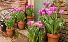 Planting bulbs in your garden can be a daunting task especially if you are a beginner gardener Growing bulbs like tulips in a container is foolproof and a great way to ge. Growing Tulips, Planting Tulips, Tulips Garden, Garden Bulbs, Growing Plants, Container Flowers, Container Plants, Plant Containers, When To Plant Tulips