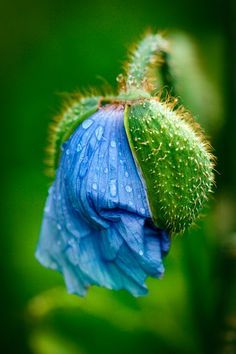 _LT75928 All Flowers, Flowers Nature, Exotic Flowers, Amazing Flowers, Pretty Flowers, Macro Flower, Flower Art, Blue Poppy, Exotic Plants