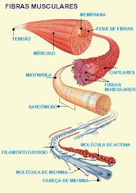 ANATOMIA -SISTEMA MUSCULAR HUMANO    Músculos     São estruturas individualizadas que cruzam uma ou mais articulações e pela sua contraçã... Human Body Muscles, Human Body Anatomy, Branches Of Biology, Biomedical Science, Kinesiology Taping, Muscle Contraction, Med Student, Anatomy And Physiology, Anatomy Reference