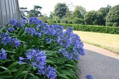 Agapanthus by Kew Gardens, via Flickr -- beautiful blue!