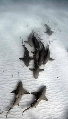 Sharks on the ocean floor - Tubarões Beautiful Creatures, Animals Beautiful, Fauna Marina, Underwater Life, Underwater Squad, Ocean Creatures, Tier Fotos, Sea And Ocean, Shark In The Ocean