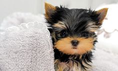 Yorkshire Terrier – Energetic and Affectionate Dog Photos, Dog Pictures, Cute Pictures, Cutest Dog Ever, Cutest Dogs, Baby Animals, Cute Animals, Yorky, Pet Dogs