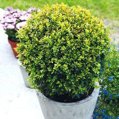 Buksbom er en eviggrønn plante som har vært brukt i mange hundre år, og da først og fremst i typiske renessansehager og strengt utformede hageanlegg. I senere tid har den også blitt svært populær i Norden for sine anvendelige og lettstelte egenskaper.