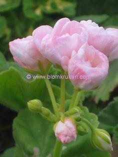 Geranium Mårbacka Tulppaanit