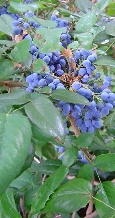 FOR TRANSITION: Tall Oregon Grape  Evergreen woody-stemmed shrubs with distinct holly-like leaves. Bronze-colored new growth in spring, with mounds of small, bright yellow fragrant flowers in spring, followed by clusters of round, dusky blue (edible, though often sour) fruit. Foliage often takes on a striking red to purplish cast in fall-winter. Grows best in partial sun and to moist to dry conditions.