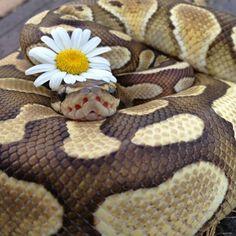 Ball python love