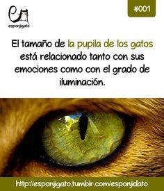 #Esponjidato: el tamaño de la pupila de los gatos está relacionado tanto con sus emociones como con el grado de iluminación.