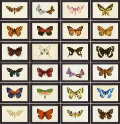 Hubbard Butterflies, 8 x 5   Natural Curiosities