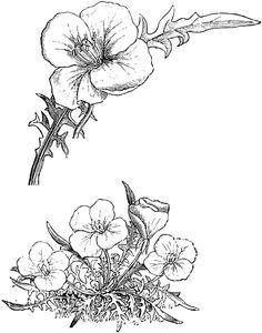 The common name of oenthera is evening primrose. The acaulis variety has white flowers fading into red. The flowers bloom May to September. Blackwork, Evening Primrose, Line Drawing, White Flowers, Piercings, Bloom, Clip Art, Leaves, Tattoo Ideas