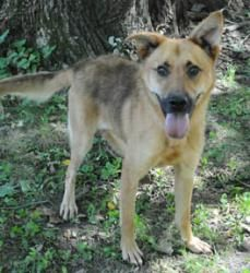 Murray is an adoptable Belgian Shepherd Malinois Dog in Valparaiso, IN. Murray is a an absolutely adorable Belgian Malinois-mix that is looking for a loving forever home to call his own!  Murray is a ...