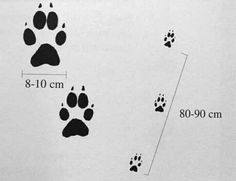 Risultati immagini per ciclo del lupo