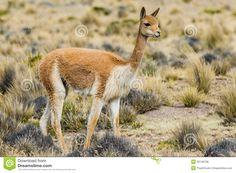 The vicuña (Vicugna vicugna) or vicugna