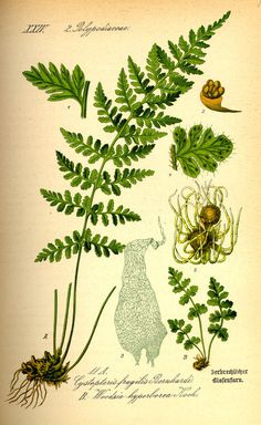 This fern botanical print, was drawn in the middle of 1800's. Description from etsy.com. I searched for this on bing.com/images