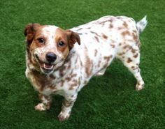 NALA – A1114886  *OWNER SUR--RESCUE ONLY**  SPAYED FEMALE, WHITE / BROWN, WELSH CORGI CAR MIX, 4 yrs OWNER SUR –  Reason ALLERGIES I