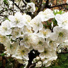 Visnja #vrt #proljece #spring #cherry #mygarden  by goga.capan