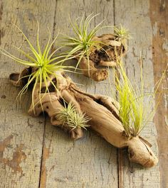 Discarded old vine trunks - rescued and transformed into air plants