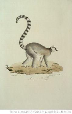 Mococo (maki catta), Histoire naturelle des mammifères de Wermer (1819)