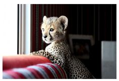 baby cheetah - awesome