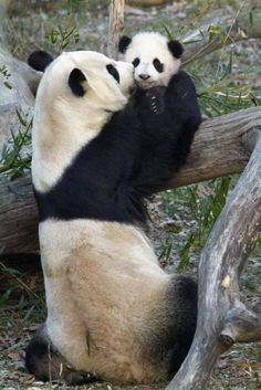 I love this Mommy and Baby Panda.