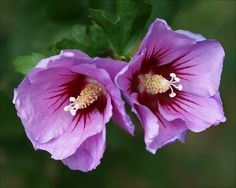 Rose of Sharon, too Rose Mallow | Flickr - Photo Sharing!