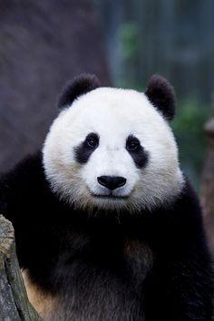 Mr. Wu Panda | AS